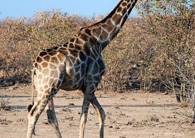 440px-Giraffa_camelopardalis_angolensis_namibia